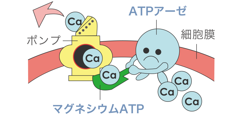 ATPを正常に働かせる