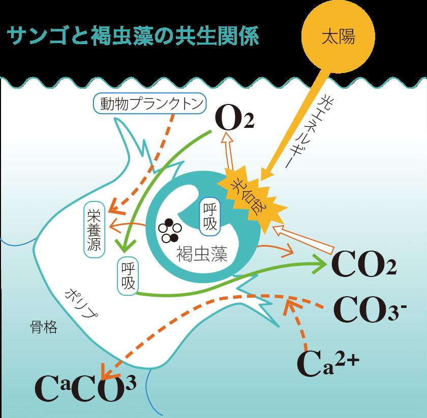 サンゴと褐虫藻の共生関係
